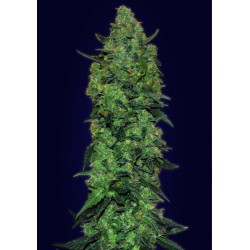 Auto Skunk Mass Feminized (Advanced Seeds)