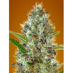 Auto Somango Feminizowane (Advanced Seeds)