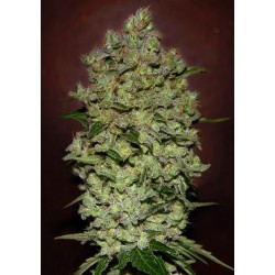 Bio Diesel Mass Auto Feminized (Advanced...