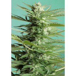 Sweet Dwarf Auto Feminized (Advanced Seeds)