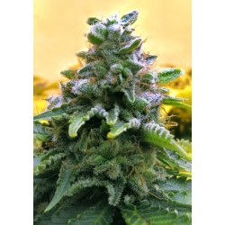 Top 69 Automatica Feminized (Advenced Seeds)