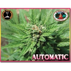 Automatic Feminized (Big Buddha Seeds)