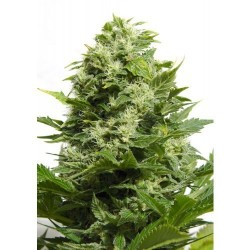 Big Buddha Cheese Feminized  (Big Buddha...