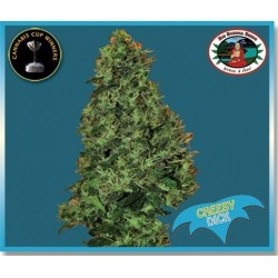 Cheesy Dick Feminized (Big Buddha Seeds)