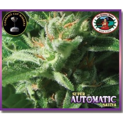 Super Automatic Sativa Feminizowane (Big...