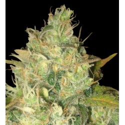 Black Russian Feminized (Delicious Seeds)