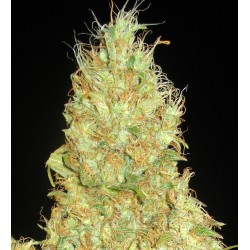 Fruity Chronic Juice Feminized (Delicious...