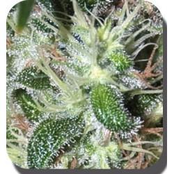 Pulsar Feminized (Buddha Seeds)