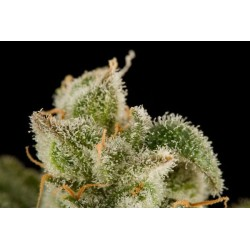Blue Thai Feminized (Dinafem)