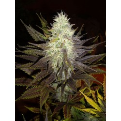 Blue Widow Feminized (Dinafem)