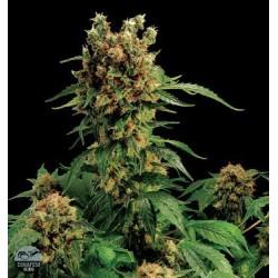 California Hash Plant Feminized (Dinafem)