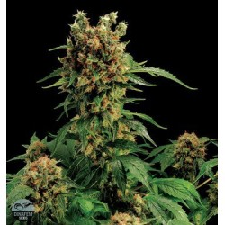 California Hash Plant Feminizowane (Dinafem)
