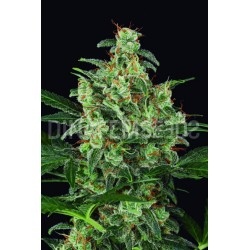 Cheese Auto Feminized (Dinafem)