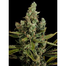 Cheese Feminised (Cannabis Seeds)