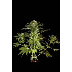 Fruit Automatic Feminized (Dinafem)