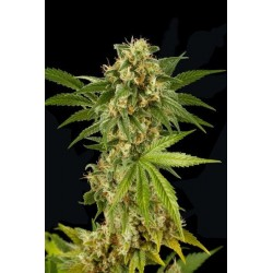 Kush-N-Cheese Feminized (Dinafem)