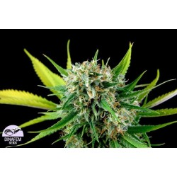 Royale Haze Feminized (Dinafem)