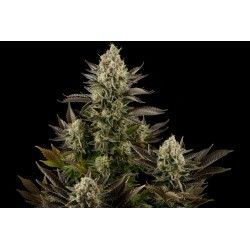 White Widow Feminized (Dinafem)