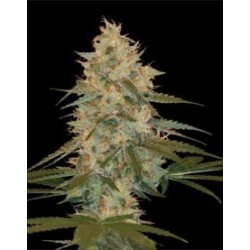 Chocolope Kush Feminized (DNA Genetics)