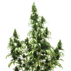Autoblueberry Feminized (Dutch Passion)