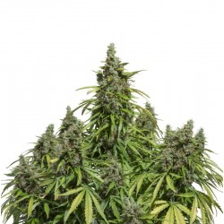 Auto Mazar Feminized (Dutch Passion)