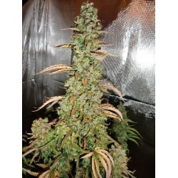 Auto Xtreme Feminizowane (Dutch Passion)