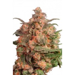 Brainstorm Feminized (Dutch Passion)