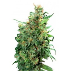 Californian Orange Feminized (Dutch Passion)