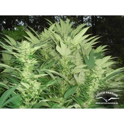 Durban Poison Feminizowane (Dutch Passion)