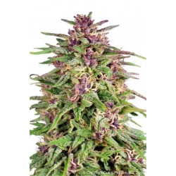Frisian Dew Feminized (Dutch Passion)