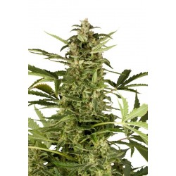 Polar Light 2 Auto Feminized (Dutch Passion)