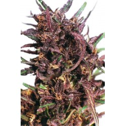 Purple 1 Feminized (Dutch Passion)