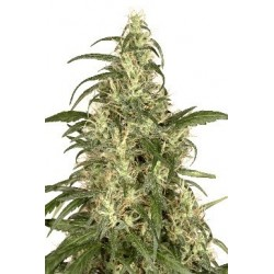Skunk 11 Feminizowane (Dutch Passion)
