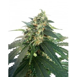 SnowStorm 2 Auto Feminized (Dutch Passion)