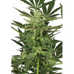 Taiga 2 Auto Feminized (Dutch Passion)