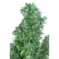 Think Different Auto Feminized (Dutch...