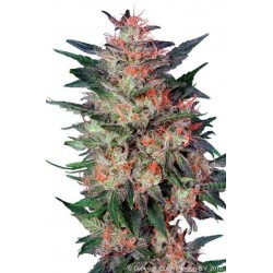 White Widow Feminizowane (Dutch Passion)