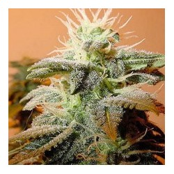 Indoor Mix Feminized (Female Seeds)