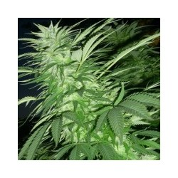 Purple Maroc Feminized (Female Seeds)