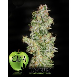 Nexus Feminized (Eva Seeds)