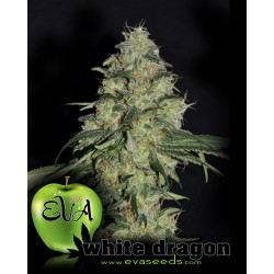 White Dragon Feminizowane (Eva Seeds)