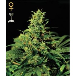 Big Bang Feminized (Greenhouse Seeds)