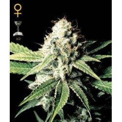 Great White Shark Feminized (Greenhouse...