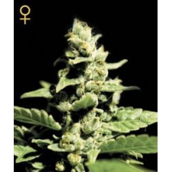 Green-O-Matic Auto Feminized (Greenhouse...