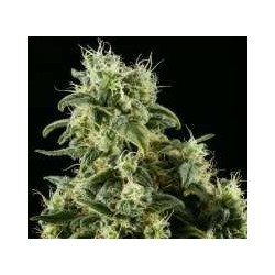 Himalaya Gold Feminized (Greenhouse Seeds)