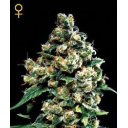 Jack Herer Feminizowane (Greenhouse Seeds)