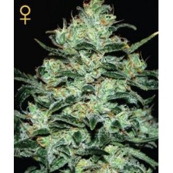 Moby Dick Feminized (Greenhouse Seeds)