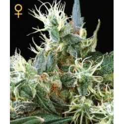 Northern Light Auto Feminized (Greenhouse...