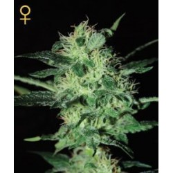 Super Critical Feminized (Greenhouse Seeds)