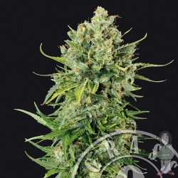 Auto Mass Feminized (Grass O Matic)